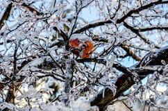 Ramo di albero ghiacciato con la mela rossa Fotografie Stock