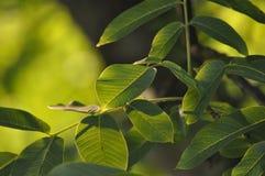Ramo di albero lungo in pieno delle foglie di autunno verdi Fotografia Stock