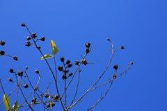 Ramo di albero piano contro cielo blu Fotografia Stock