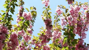 Ramo di albero rosa di fioritura di sakura Fiori della molla di sakura della ciliegia archivi video