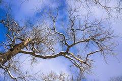 Ramo di albero serpeggiante Fotografia Stock