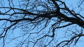 Ramo di albero sfrondato contro cielo blu archivi video