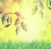 Ramo di albero, sopra il fondo verde naturale della molla immagini stock libere da diritti