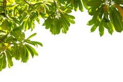Ramo di albero su fondo bianco Fotografia Stock