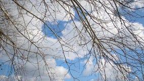 Ramo di albero sul fondo del cielo blu, su in cielo, nuvole bianche volanti illuminate dal sole video d archivio