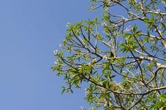 Ramo di albero verde contro il fondo del cielo blu Immagine Stock