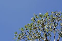 Ramo di albero verde contro il fondo del cielo blu Fotografia Stock