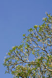 Ramo di albero verde contro il fondo del cielo blu Fotografie Stock