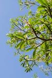Ramo di albero verde contro il fondo del cielo blu Immagini Stock Libere da Diritti