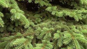 Ramo di albero verde dell'abete che si muove nella brezza del vento leggero archivi video