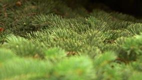 Ramo di albero verde dell'abete che si muove nella brezza del vento leggero stock footage