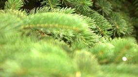 Ramo di albero verde dell'abete che si muove nella brezza del vento leggero video d archivio