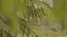 Ramo di albero verde dell'abete che si muove nella brezza del vento leggero Primo piano del ramo di pino Fucilazione della videor video d archivio