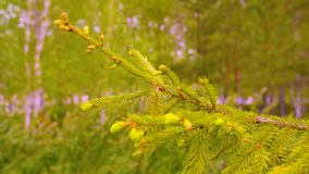 Ramo di albero verde dell'abete con gli aghi ed i germogli in foresta, primo piano archivi video