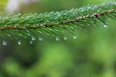 Ramo di albero verde dell'abete con le gocce di acqua su una mattina piovosa di estate o della primavera fotografie stock