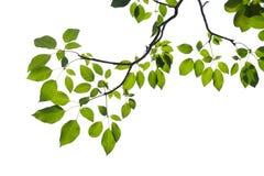 Ramo di albero verde isolato Immagine Stock Libera da Diritti