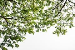 Ramo di albero verde isolato Fotografia Stock Libera da Diritti