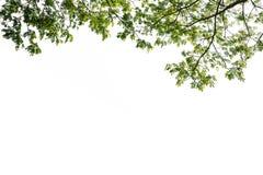 Ramo di albero verde isolato Fotografie Stock