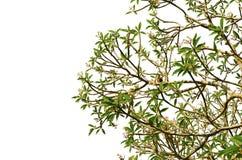 Ramo di albero verde isolato con l'uccello Immagine Stock