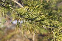 Ramo di albero verde sulla foresta e sul cielo blu del fondo fotografia stock libera da diritti