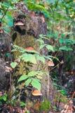 Ramo di autunno dei lamponi selvaggi sui precedenti dei funghi di Polypore su un vecchio ceppo Immagini Stock