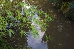 Ramo di bambù sopra insenatura Immagini Stock Libere da Diritti