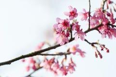 Ramo di campanulata del Prunus Fotografia Stock Libera da Diritti