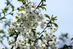 Ramo di Cherry Blossom Immagini Stock