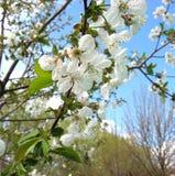 Ramo di Cherry Blossom immagini stock libere da diritti