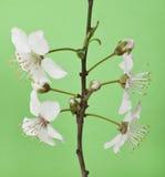 Ramo di Cherry Blossom Fotografia Stock