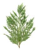 Ramo di Cypress isolato immagini stock libere da diritti