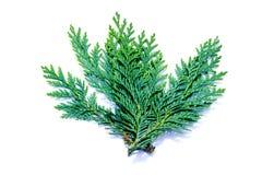 Ramo di Cypress isolato su fondo bianco fotografia stock libera da diritti