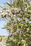 Ramo di di olivo con le bacche su  Immagine Stock Libera da Diritti