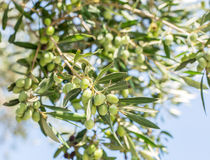 Ramo di di olivo con le bacche su  Fotografie Stock Libere da Diritti