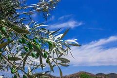 Ramo di di olivo con le olive mature La Grecia Fotografia Stock