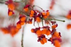 Ramo di euonymus o del fuso con i frutti nell'inverno Fotografia Stock