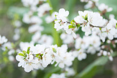 Ramo di fioritura del ciliegio fotografia stock libera da diritti