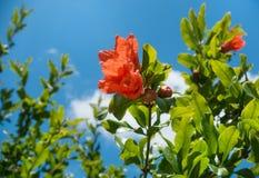 Ramo di fioritura del melograno immagine stock