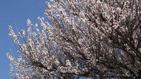 Ramo di fioritura dell'albero da frutto dell'albicocca archivi video