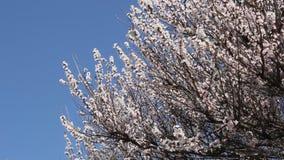 Ramo di fioritura dell'albero da frutto dell'albicocca stock footage