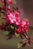 Ramo di fioritura dell'albero da frutto della primavera Di melo sbocciante rosa Immagini Stock Libere da Diritti