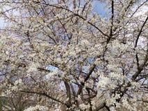 Ramo di fioritura dell'albero da frutto nel giorno di primavera Fotografia Stock Libera da Diritti
