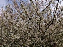 Ramo di fioritura dell'albero da frutto nel giorno di primavera Fotografie Stock Libere da Diritti