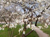 Ramo di fioritura dell'albero da frutto nel giorno di primavera Immagini Stock Libere da Diritti