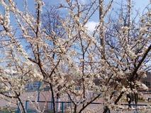 Ramo di fioritura dell'albero da frutto nel giorno di primavera Immagini Stock