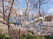 Ramo di fioritura dell'albero da frutto nel giorno di primavera Immagine Stock Libera da Diritti