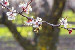 Ramo di fioritura dell'albero di albicocca sul frutteto vago del fondo, Fotografia Stock