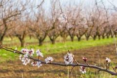 Ramo di fioritura dell'albero di albicocca sul frutteto vago del fondo Fotografia Stock