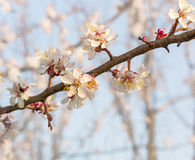 Ramo di fioritura dell'albero di albicocca sul frutteto vago del fondo Fotografie Stock Libere da Diritti