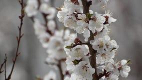 Ramo di fioritura dell'albicocca Primo piano stock footage